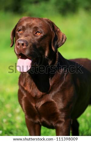 Chocolate labrador retriever on green grass - stock photo