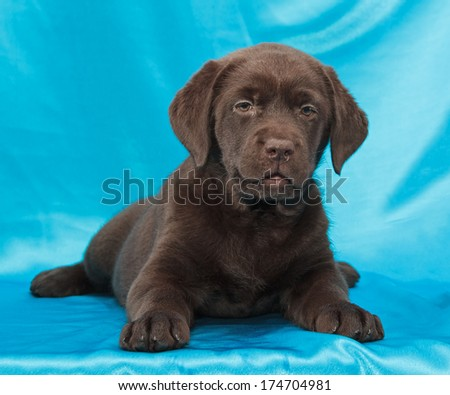chocolate labrador retriever puppy (8 week old)