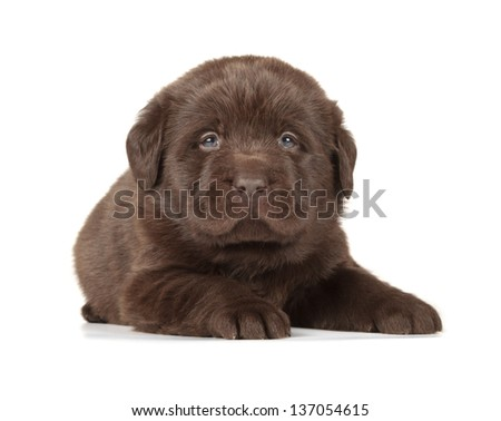 Chocolate Labrador Retriever Puppy (4 week old, isolated on white background) - stock photo