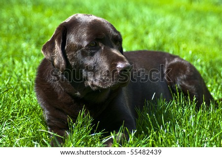 Chocolate Labrador Retriever relaxing in green grass on a sunny day.