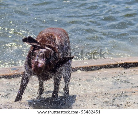 Chocolate Labrador Retriever shaking off after a swim in the water at a dog park. Only one eye is opened as droplets of water go flying from his brown fur.