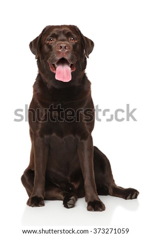 Chocolate Labrador retriever sitting in front of white background