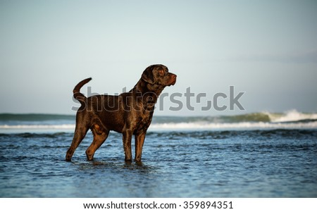 Chocolate Labrador Retriever standing in the ocean water with waves