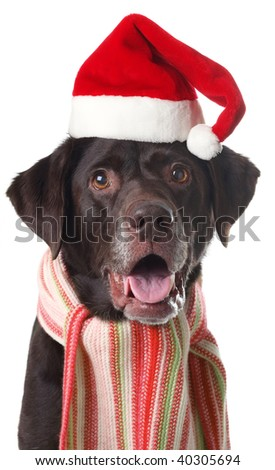 Chocolate labrador retriever wearing a Santa hat and scarf. Studio isolated.