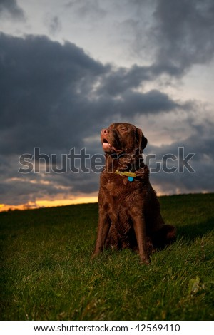 Chocolate Labrador sitting in field with sunset in background