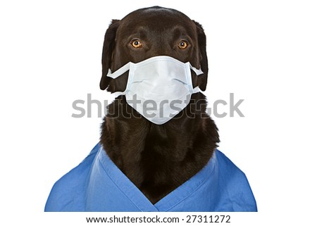Chocolate Labrador Surgeon with Mask - stock photo