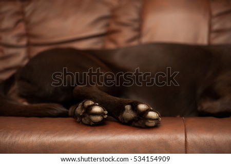 Chocolate labrador white paws