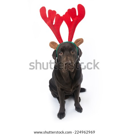 Chocolate labrador with antlers isolated on white - stock photo