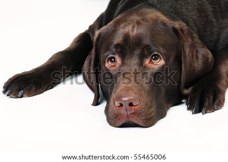 Chocolate labrador with sad expression lying in studio on a white background - stock photo