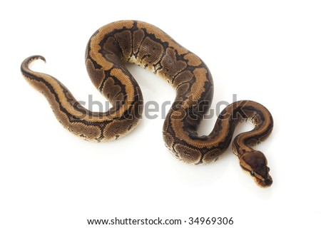 chocolate pinstripe ball python (Python regius) isolated on white background.