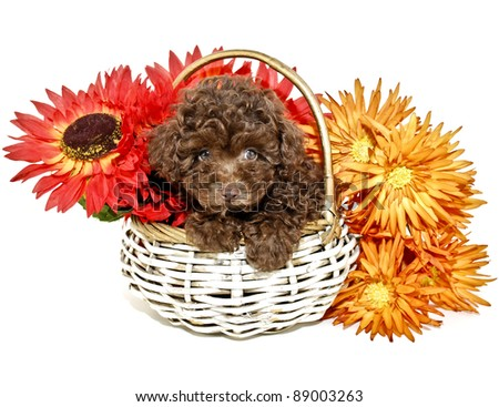 Chocolate Poodle Puppy with fall colored flowers on a white background. - stock photo