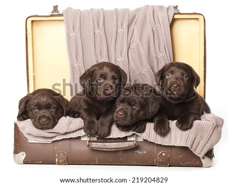 chocolate puppies of Labrador Retriever amicably sitting in brown vintage leather suitcase  - stock photo