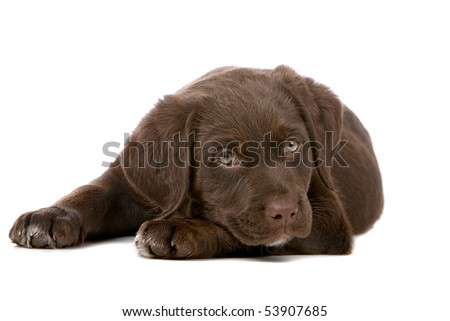 chocolate retriever puppy isolated on a white background - stock photo