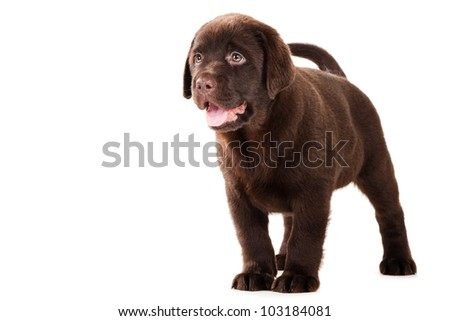 Chocolate Retriever puppy, 20 weeks old, standing in front of isolated white background - stock photo