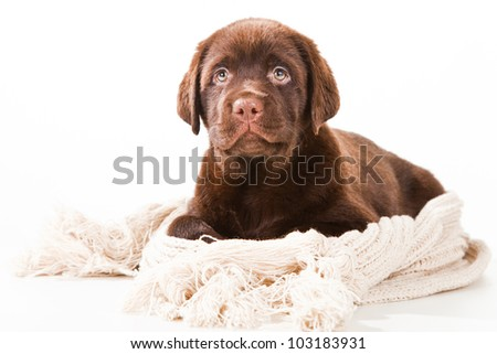 Chocolate Retriever puppy, 20 weeks old, with warm woolen scarf lying in front of white background - stock photo