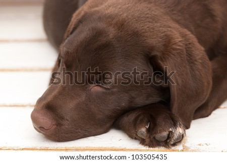 chocolate sleeping labrador puppy closeup - stock photo