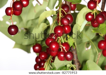Chokecherries on Tree Prunus Virginiana - stock photo