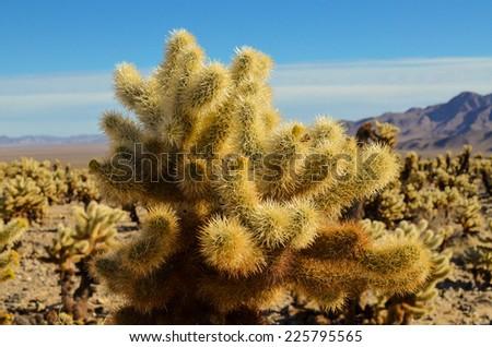 Cholla cactus garden at Joshua tree national park. - stock photo