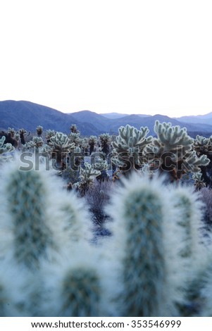 cholla cactus garden from Joshua Tree national park