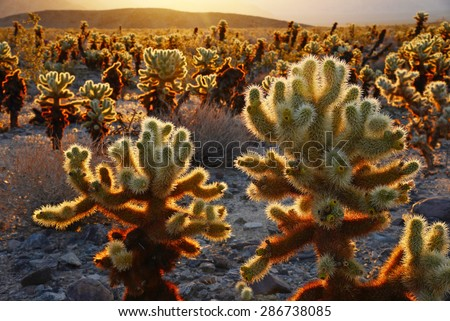 cholla cactus garden from Joshua Tree national park with a warm morning sunlight
