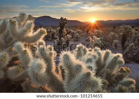 Chollas Cactus Sunrise Joshua Tree National Park, California - stock photo