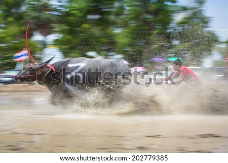 Chonburi, Thailand -  June 29, 2014: Buffaloes racing Festival .The event is normally held in raining season. It is an one day race  with  different classes categorized by the size
