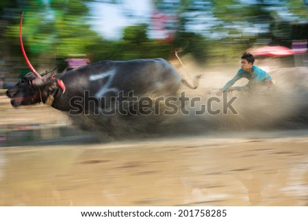 CHONBURI, THAILAND -  JUNE 29: Buffaloes racing on June 29, 2014 in Chonburi, Thailand. It is an one day race with different classes categorized by the size of the buffalo.