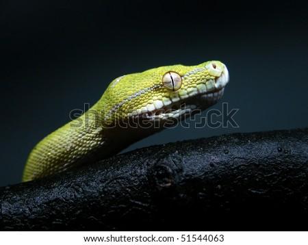 chondro python - stock photo