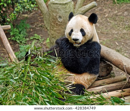 CHONGQING, CHINA â?? April 13, 2106: Giant Panda Bear in Chongqing Zoo. Panda enclosure is the zooâ??s main draw. A giant panda there had three offspring which is kind of a record for captive pandas - stock photo