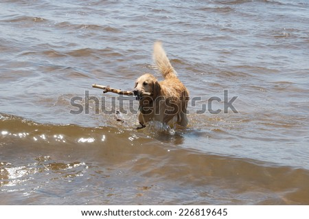 Choosing a stick the dog hold up a thrown stick while fetching in the water - stock photo