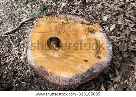 Chopped Tree Trunk in the Woods / Section of a chopped trunk of pine tree in the wood with dry leaves