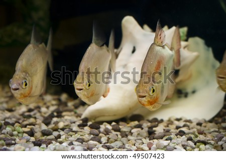 Choreographed fish with similar body positions and same facial expressions - stock photo