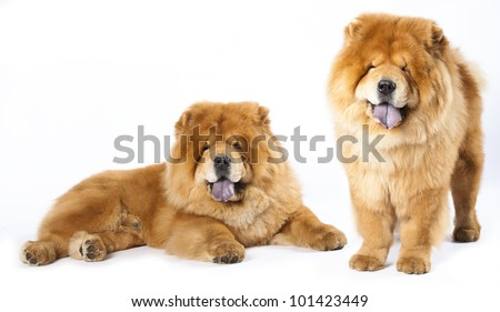 Chow chow - stock photo