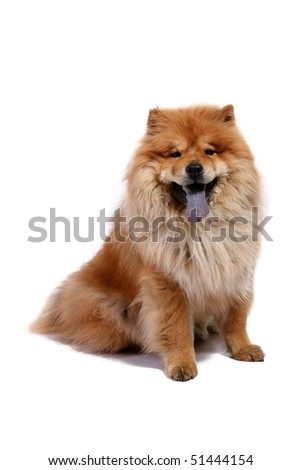 Chow-chow dog on white background - stock photo