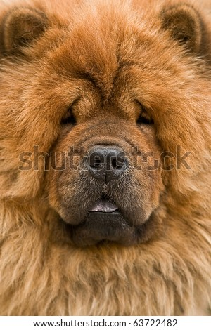chow-chow dog portrait close up - stock photo