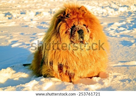 Chow Chow Dog, sun rays and white snow.