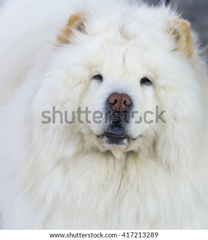 chow chow dog, white mouth nose - stock photo