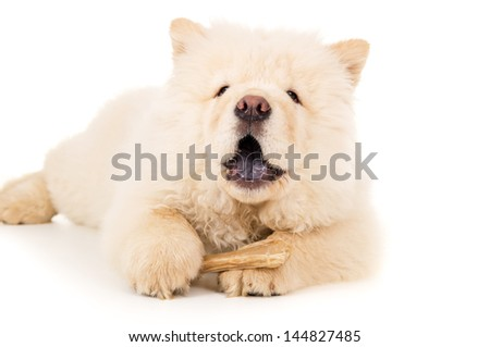Chow chow eats bone close-up isolated - stock photo