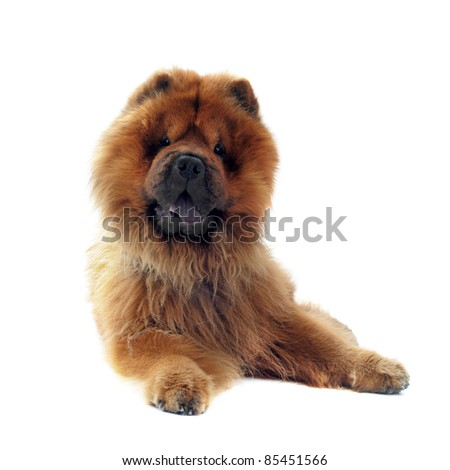 chow-chow in front of a white background - stock photo