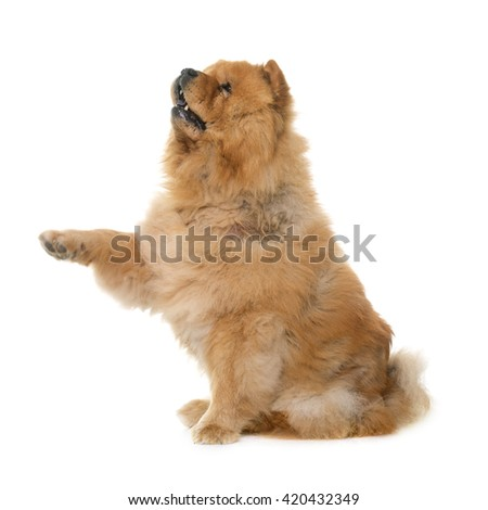 chow chow in front of white background