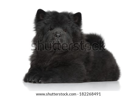 Chow-chow long-haired puppy lying on white background - stock photo