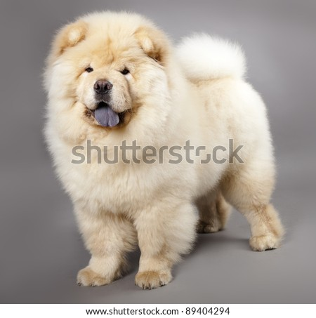 Chow chow (5 months) in front ofa grey background - stock photo