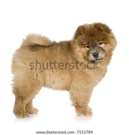 Chow chow (3 months) in front ofa white background - stock photo