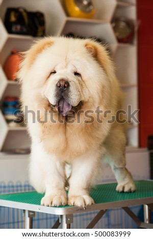 Chow Chow on sale!