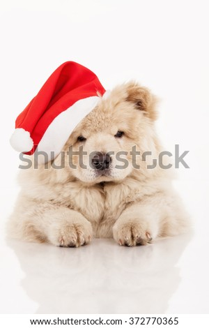Chow-chow puppy  in a Santa Claus hat - stock photo