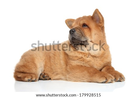 Chow chow puppy lying on a white background - stock photo