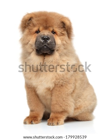 Chow chow puppy, portrait on a white background - stock photo