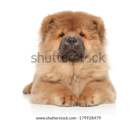 Chow chow puppy posing on a white background - stock photo