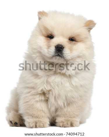 Chow chow puppy, 11 weeks old, sitting in front of white background - stock photo
