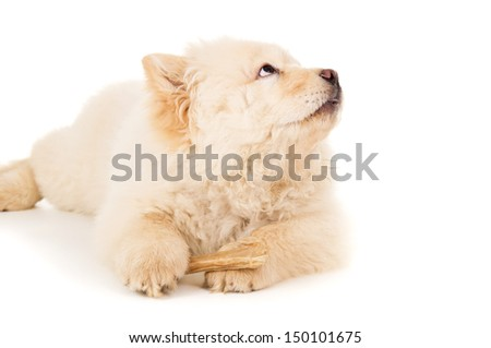 Chow chow puppy with bone isolated - stock photo
